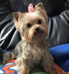Yorkshire Terriers AKC, Ocala, Florida Source by The post Yorkshire Terriers AKC, Ocala, Florida appeared first on Avery Dogs. Yorkies, Yorkie Puppy, Havanese Dogs, Yorkshire Terrier Haircut, Yorkshire Terrier Puppies, Cute Puppies, Cute Dogs, Corgi Puppies, Yorkie Haircuts
