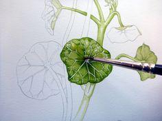 Lizzie Harper nasturtium botanical illustration step 4