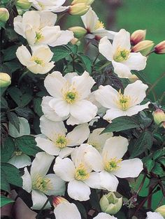 Top 10 climbing plants for a small trellis pinterest plants also known as grandiflora clematis montana is a very vigorous climber that produces an abundance of white flowers in spring mightylinksfo