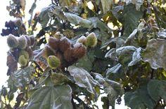 Colorau,condimento especiarias; Urucum. Inverno 2016