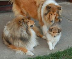The Shetland Sheepdog originated in the and its ancestors were from Scotland, which worked as herding dogs. These early dogs were fairly Smooth Collie, Rough Collie, Collie Dog, Collie Puppies, Best Dog Breeds, Best Dogs, Blue Merle Sheltie, Shetland Sheepdog, Mundo Animal