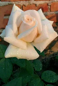 𝐁𝐞𝐚𝐮𝐭𝐢𝐟𝐮𝐥 𝐰𝐡𝐢𝐭𝐞 𝐫𝐨𝐬𝐞 Most Beautiful Flowers, Pretty Flowers, White Roses, Pink Roses, Blossom Garden, Types Of Roses, Rosa Rose, Rose Pictures, Rose Of Sharon