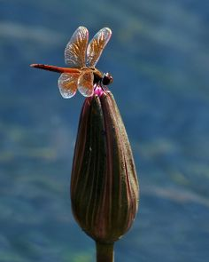 LILY BUD AND DRAGONFLY