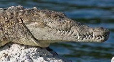 Biscayne American crocodile, ©NPS