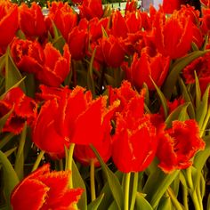 Bright orange tulips!
