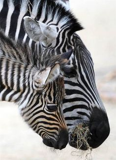 Side by side: A zebra foal named Maalik stands next to its mother in their enclosure at the zoo in Hanover, Germany, on April 4.