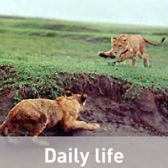 How much can an adult lion eat in one feeding? Why do male lions have manes? Do lions purr like house cats? Male Lion, Science Biology, Brown Bear, Homescreen, Lions, College, This Or That Questions, Cats, Animals