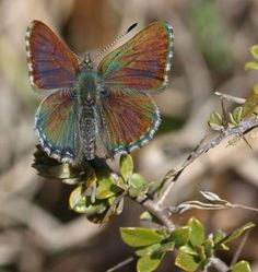 "The Beautiful and unfortunately rare,Australian Copper Butterfly,has a symbiotic relationship with ants that is necessary for its survival.So that next time you buy Amdro* to dump on those""useless""ants,take a breather to consider the Blue Butterflies of the UK,(& Europe),some Hairstreak Butterflies,& the exquisite Copper Butterfly of Australia;without the protection of native ants,these butterflies  larvae remain vulnerable to predators.The only ants i'd be comfortable with extinguishing…"