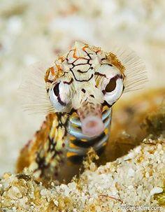 Network Pipefish (Corythoichthys flavofasciatus) .. Jerome Kim