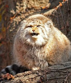 At the Lincoln Park Zoo in Illinois, a Pallas cat shows some attitude.