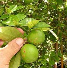 cancro fruto limonero Beautiful Gardens, Gardening Tips, Fruit, Nature, Patio, Gardens, Lemon Tree Potted, Backyard Farming, Plant
