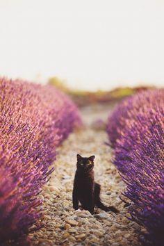 in the lavender