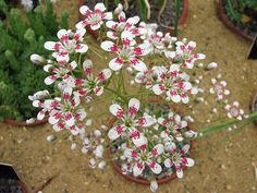 Alpine plants for a rockery -Saxifraga 'Southside Seedling'
