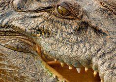 Saltwater Crocodiles and People, Darwin, Australia