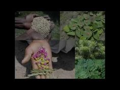 Medicinal Rice B4 Formulations for Chorodititis: Pankaj Oudhia's Medicin...