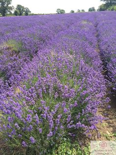 Mendip Lavender - Somerset Flowers Somerset, Summer Wedding, Wedding Flowers, Lavender, Plants, Plant, Planets, Bridal Flowers