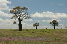 Baobabs Queensland Australia