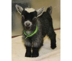 PYGMY GOAT!!! My soon to be two year old son wants one of this in the worse way.