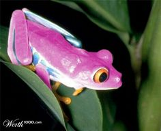 Wow a pink frog it's so unique pretty