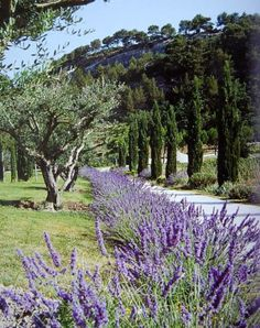 Olive tree landscape mediterranean garden lavender Ideas Yes, a well-designed front yard adds cu Lavender Garden, Lavender Fields, Lavender Hedge, Provence Lavender, Mediterranean Garden Design, Interior Garden, French Countryside, Exotic Flowers, Garden Styles