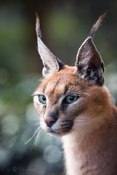 """The caracal is a medium sized cat which it spread in West Asia, South Asia, and Africa. The word Caracal is from Turkey """"Karakulak"""" which means """"Black Ears"""". Here is all about caracal as a pet. Small Wild Cats, Big Cats, Cool Cats, Cats And Kittens, Caracal Caracal, Serval, Beautiful Cats, Animals Beautiful, Animals And Pets"""