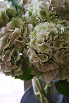 hydrangea Belena classic
