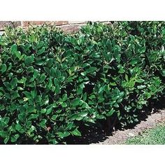 White Waxleaf Ligustrum - glossy, evergreen foliage, excellent hedge, easy to grow and maintain; avail at Lowe's