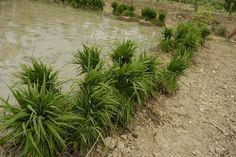 Garbes al planter preparades per ser carregades i dutes al quadre on es plantaran. Plantar, Herbs, Herb