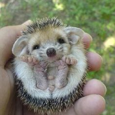 Baby porcupine....... This is one of the cutest things I have ever seen!!!!!