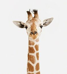 Giraffes are my favorite animals! I've also been told I resemble one...?