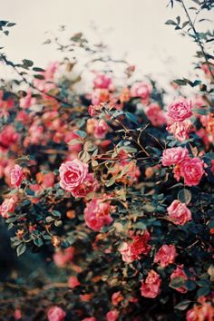 Gorgeous garden roses.