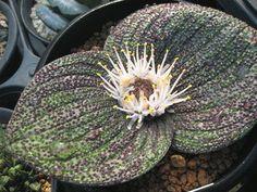 Massonia longipes