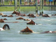 Ponies swimming from Assateague to Chincoteague