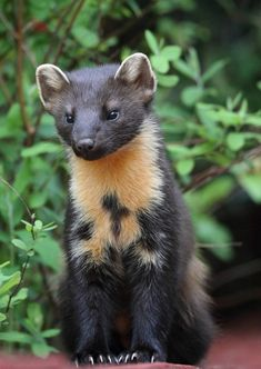"""American Pine Marten are experts at playing hide-and-seek in the Rain Forest. They are an all season hunter. They move effortlessly, so they are so quick, they are """"here one second, and gone the next""""."""