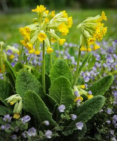 50 Seeds w/Instructions (seeds are very small) Primula veris, quite rare, is one of the most striking native primula species, best grown in groups Unusual Flowers, Rare Flowers, Flowers Nature, Spring Flowers, Wild Flowers, Beautiful Flowers, Rare Plants, Exotic Plants, Herb Garden Design
