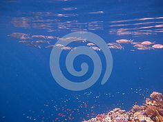 Pink fish is swimming in the beautiful water.