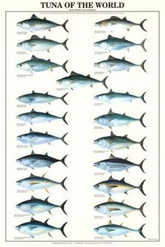 Tuna of the World Fish Chart Poster Tuna Fishing, Fishing Knots, Best Fishing, Trout Fishing, Fishing Tips, Fishing Lures, Fly Fishing, Saltwater Fishing Gear, Fishing Chair