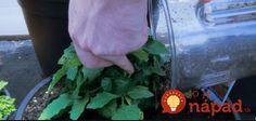 Nekupujte zbytočne chemické hnojivá z obchodu. To najlepšie vás nestojí nič a vyrobíte ho za pár sekúnd.