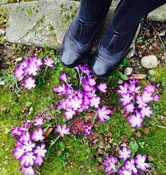 Seattle crocuses / Adriane Shown