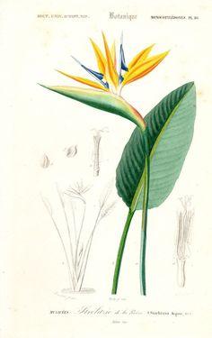 1849 Bird of Paradise Flower Antique by AntiquePrintGallery