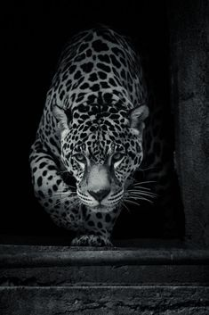 Great black and white animal picture Wild Animal Wallpaper, Leopard Wallpaper, Lion Wallpaper, Leopard Pictures, Animal Pictures, Cheetah Tattoo, Animals Beautiful, Cute Animals, Jaguar Tattoo