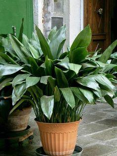 zimmerpflanzen für dunkle räume aspidistra schusterpalme
