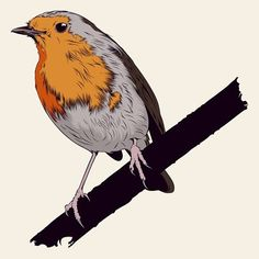 The European Robin (Erithacus rubecula)  //  Birds Collection coming soon (en Doctor Zamenhof Estudio)