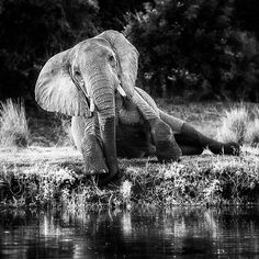 """1,541 Me gusta, 13 comentarios - Elephant Gifts (@elephant.gifts) en Instagram: """"💟🐘💟🐘 adorable creature. .@africansforelephants -  Julian's beautiful elephant picture perfectly…"""""""