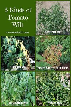 Growing Tomatoes Tips Compare 5 kinds of tomato wilt so you can identify and treat problems on your tomato plants - Use this information to compare 5 kinds of tomato wilt as you're identifying tomato plant diseases. Tips For Growing Tomatoes, Growing Tomato Plants, Growing Tomatoes In Containers, Growing Vegetables, Grow Tomatoes, Baby Tomatoes, Cherry Tomatoes, Heirloom Tomatoes, Dried Tomatoes