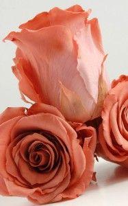 16 Rosa butonnaa