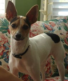 The Rat Terrier love of my life: Mr. Darcy.