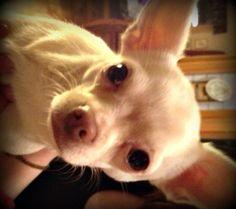 Chihuahuaen Latte
