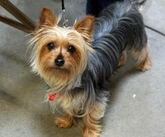 Silky Terrier.  This is what our little girl will look like when she is full grown.