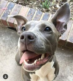 Uplifting So You Want A American Pit Bull Terrier Ideas. Fabulous So You Want A American Pit Bull Terrier Ideas. Cute Puppies, Cute Dogs, Dogs And Puppies, Animals And Pets, Baby Animals, Cute Animals, Beautiful Dogs, Animals Beautiful, Bull Terrier Dog